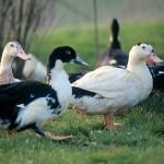 Canard d'élevage